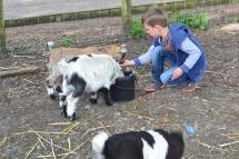 Ryan goats