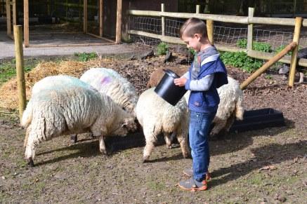Ryan sheep